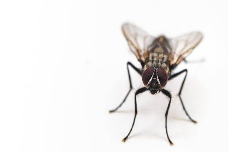 housefly control